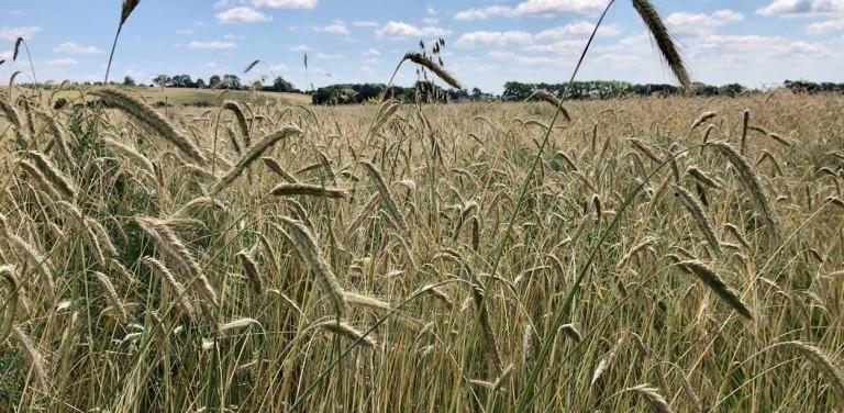 TOAD Barley